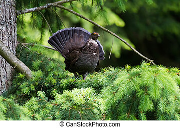Sooty Grouse standing on pine tree
