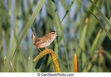 Marsh Wren close up shot