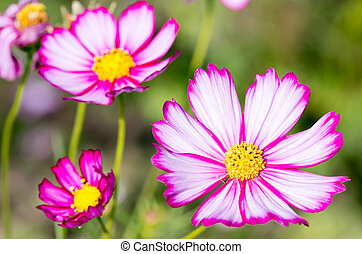 white and pink cosmos flowers - this photo is taken in Osaka