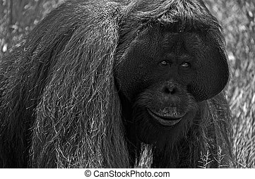 BW Orangutan at National Park - Black and White - Orangutan...