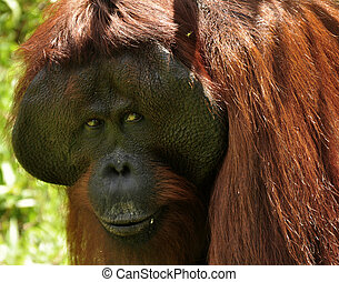 Expression Orangutan - Orangutan at rehabilitation center in...