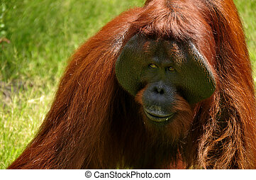 Orangutan at National Park - Expression orangutan at...