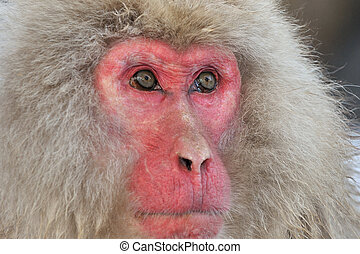Portrait from a Japanese Macaque