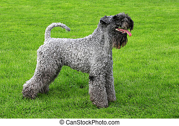 Portrait of Kerry Blue Terrier - Kerry Blue Terrier in a...