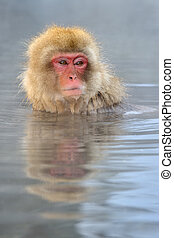 Japanese Macaque in hot spring.