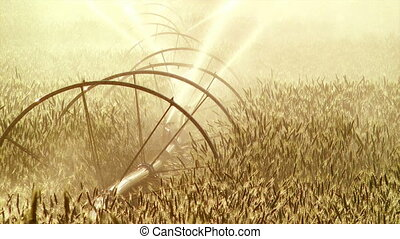 Agriculture Sprinkler - Afternoon sun on a field of wheat...