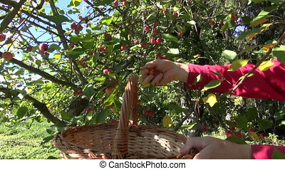 picking small crab apples from tree in autumn garden