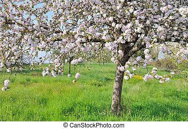 apple tree - nice apple tree while pink flowers