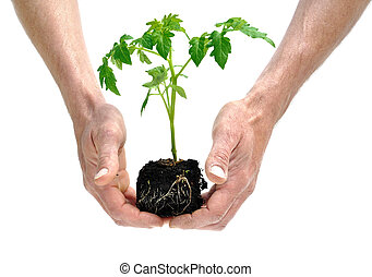 a seedling tomato - hands holding a seedling tomato isolated...