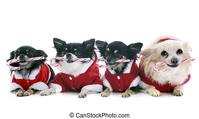 dressed chihuahuas with candy in front of white background