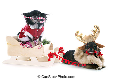 christmas chihuahuas - chihuahuas and sledge in front of...