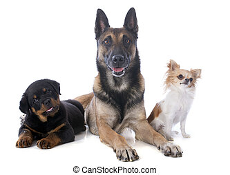 three dogs - malinois, rottweiler and chihuahua on a white...