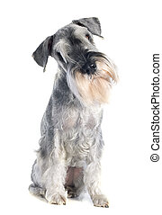 standard schnauzer in front of white background