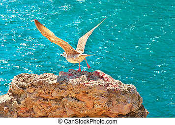 Gull Bird flying from rocky cliff outdoor with blue Sea on background wild nature Gulls are birds in the family Laridae