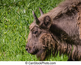 European bison or wisent in a green field