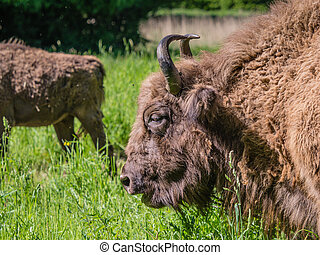 European bison or wisent grazing in green field