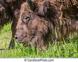 European bison or wisent grazing