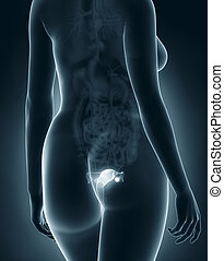 Woman genitalia anatomy x-ray black posterior view
