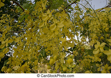 Golden shower tree Cassia fistula