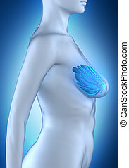 Woman breast anatomy white lateral view