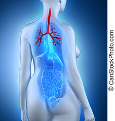 Woman bronchial tree anatomy white posterior view