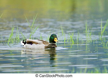 Mallard duck on a pond