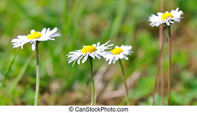 Easter daisies in the meadows