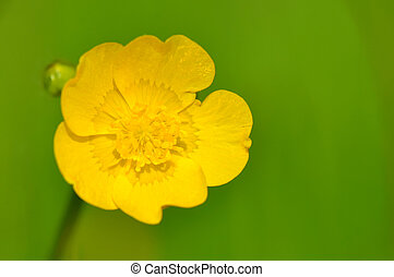 buttercup - closeup on buttercup on green background