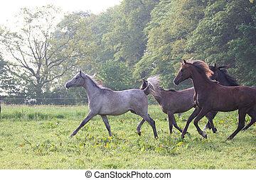 horse running - araberhorse