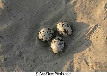 Black skimmer, Rynchops niger, eggs in nest, Brazil