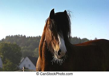 Shirer horse - horse