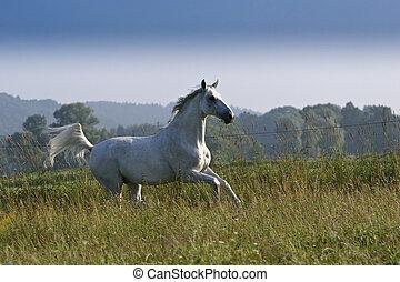 white mare - horse