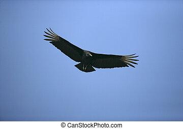 Black vulture, Coragyps atratus, single bird in flight,...