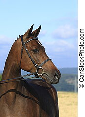 hannoveraner stallion - horse