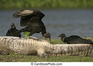 Black vulture, Coragyps atratus, group of birds on dead...