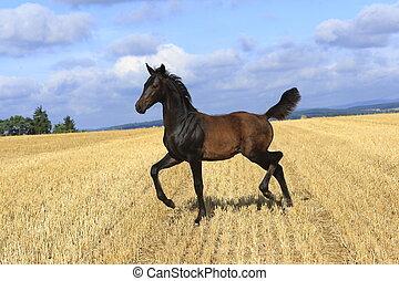 foal - horse