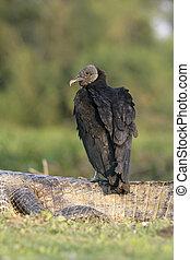 Black vulture, Coragyps atratus, single bird on dead caiman,...