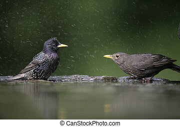 Blackbird, Turdus merula,single female at water with...