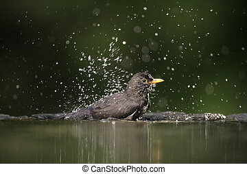 Blackbird, Turdus merula,single female at water, Hungary,