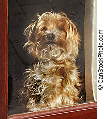 Waiting Patiently - Chloe is a cross between a Shih Tzu and...