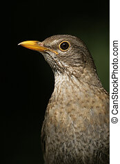 Blackbird, Turdus merula,single female head shot, Hungary,