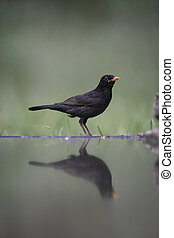 Blackbird, Turdus merula,single male at water, Hungary,