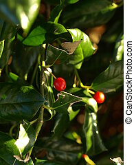Holly bush show up close with two red berries