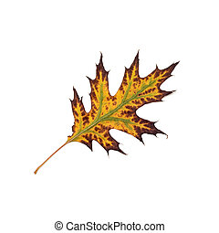 Autumn colorful leaf on a white background.