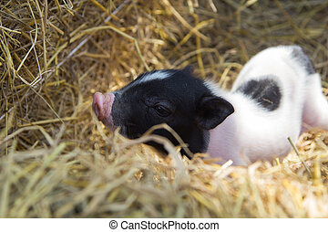 Pig in a pen - young piglet on hay and straw at pig breeding...