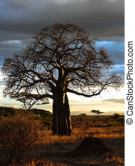 silhouetted baobab baum stock foto bilder 314 silhouetted. Black Bedroom Furniture Sets. Home Design Ideas