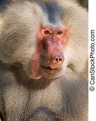 male hamadryas baboon portrait - A portrait of a scarred...