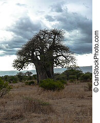 serengeti tree - Baobab tree with Nice cloudscape