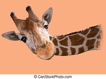 Head of a reticulated giraffe (Giraffa camelopardalis...