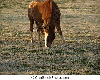Brown horse - A large brown horse eating grass in the field